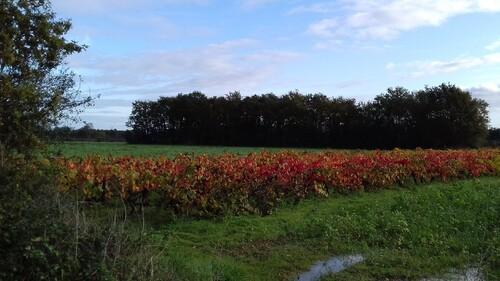Mardi 5/11/2019 Les vignes à St Philbert de Bouaine
