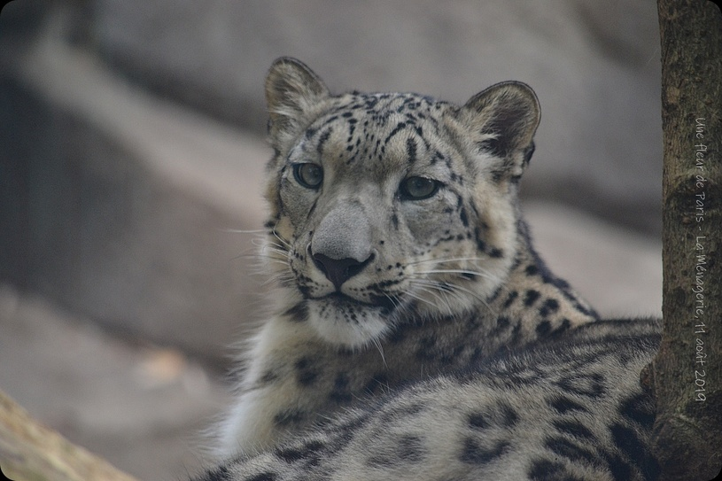 La Ménagerie, Zoo du Jardin des Plantes : Panthère des Neiges