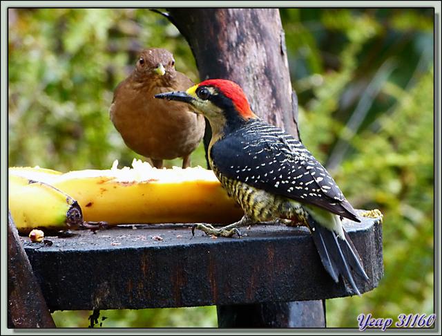 Blog de images-du-pays-des-ours : Images du Pays des Ours (et d'ailleurs ...), Pic de Pucheran, Black-cheeked Woodpecker (Melanerpes pucherani) - Arenal - Costa Rica