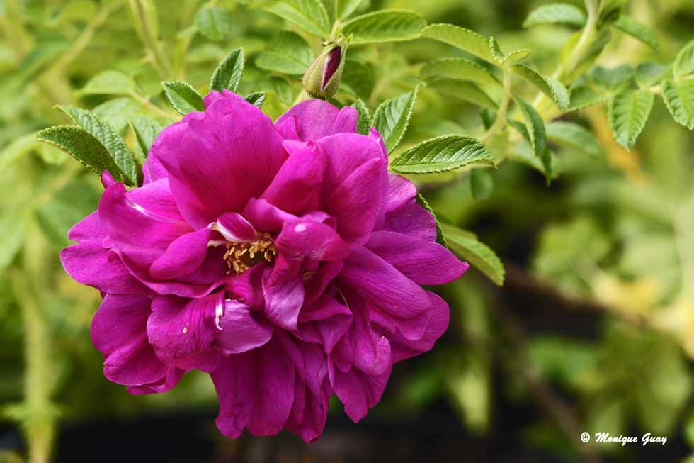 Rose Rugosa Exception