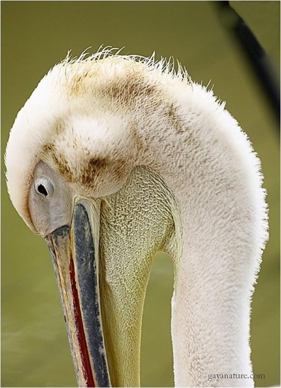 Le Pélican blanc