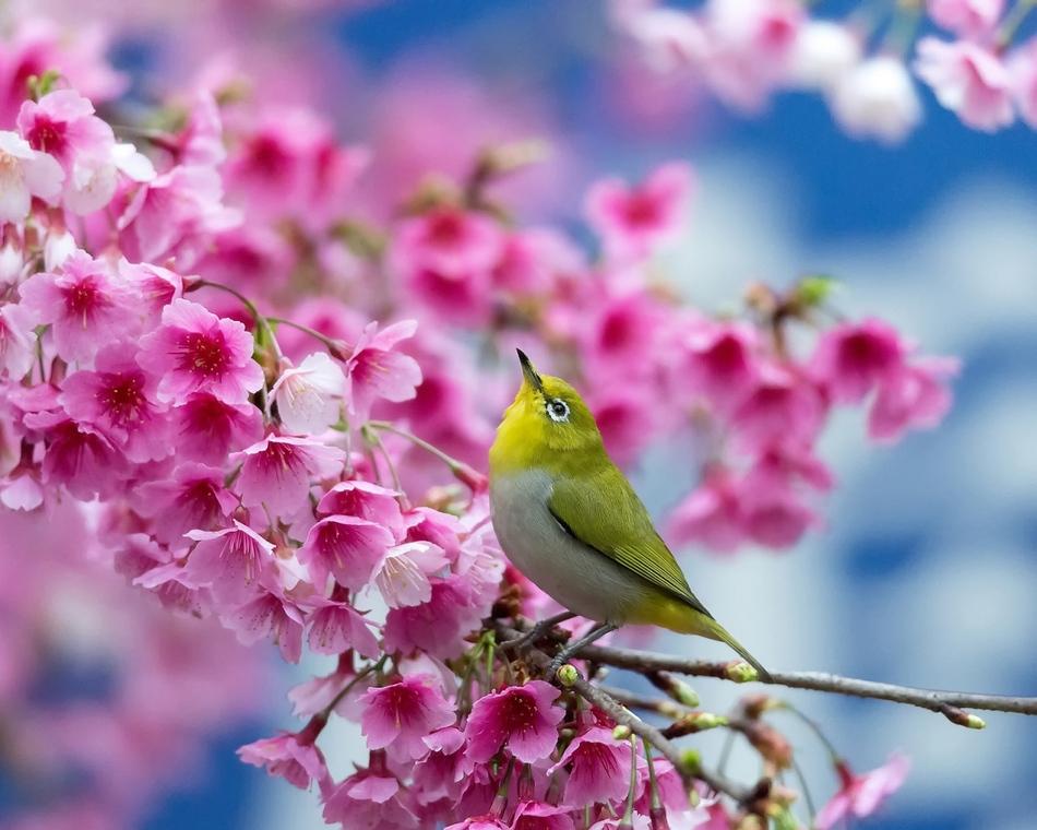 Le Zosterops Du Japon Dans Un Cerisier En Fleurs