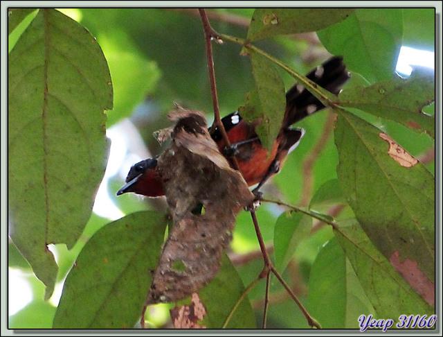 Blog de images-du-pays-des-ours : Images du Pays des Ours (et d'ailleurs ...), Deux oiseaux inconnus - Parc National Carara - Costa Rica