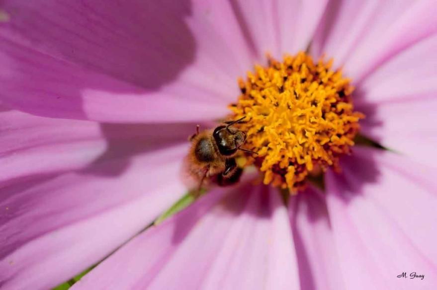 abeille-coeur-fleur-6083.jpg