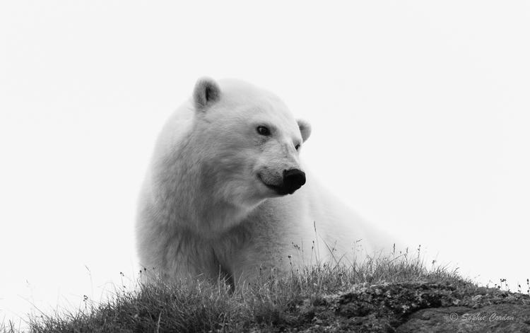 Edgeøya, l'ours végétarien suite