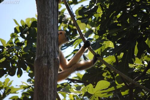 (2) La femelle gibbon à favoris blancs.