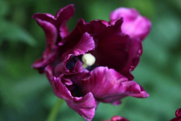 Tulipes 2014 : Negrita Parrot