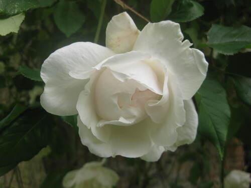Roses demandées par Jean Pierre n° 71