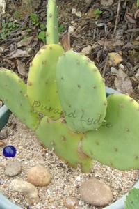 Opuntia Stricta - Changement de pot à la 2ème année