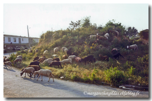 Saumur : eco pastoralisme