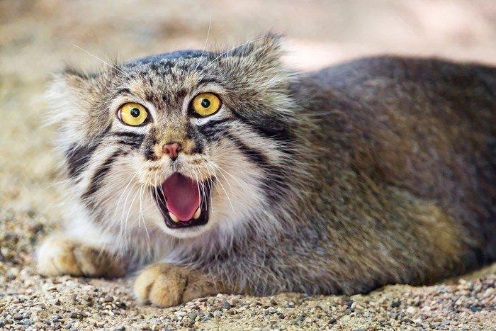Chat de Pallas : le chat le plus expressif du monde !