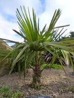 trachycarpus fortunei n° 1