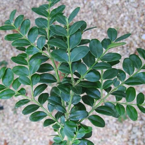 Vertus médicinales des plantes sauvages : Buis