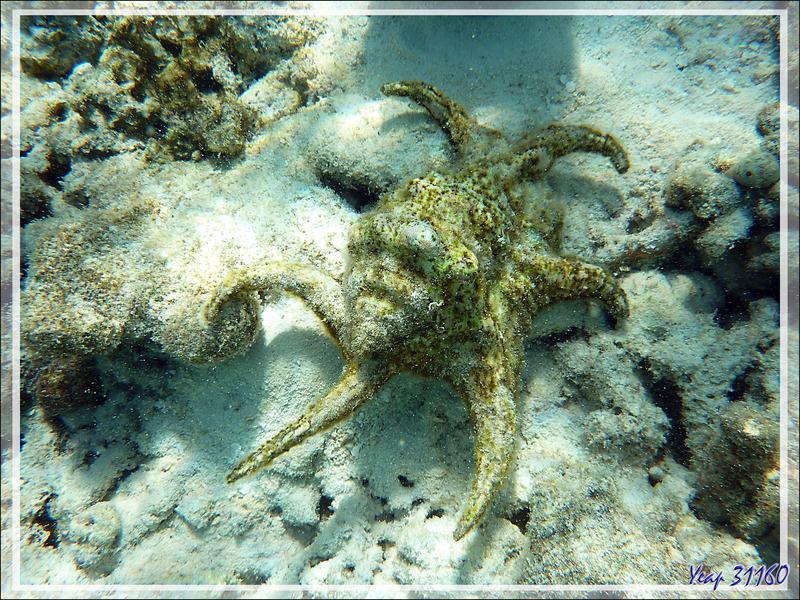 Strombe araignée, Strombe chiragre, Ptérocère rugueux, Chiragra spider conch (Lambis chiragra arthritica) - Moofushi - Atoll d'Ari - Maldives