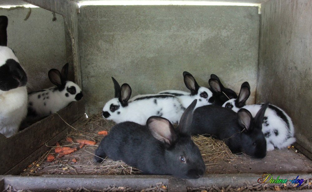 mes bébés lapins géant papillon ont 5 semaines maintenant !!!
