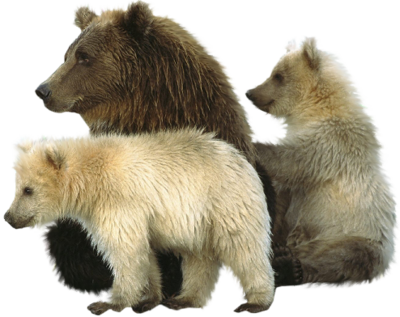 Tubes ours en png