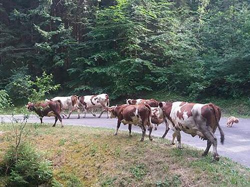 Histoire de .... vaches....