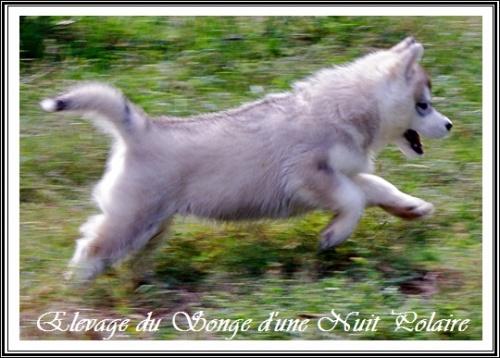 Petits Huskys dans la prairie (J+44 : 27 septembre 2012)