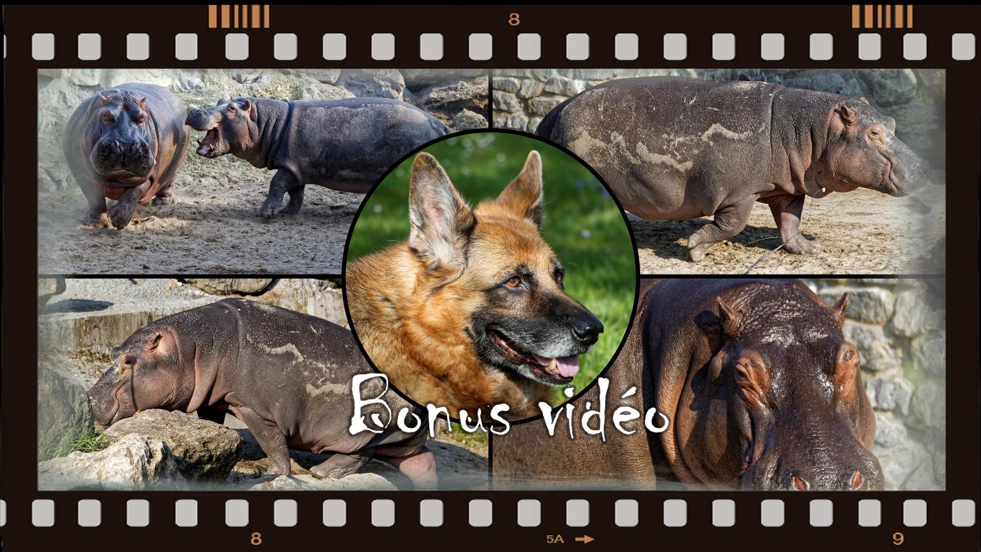 Hippopotames hors de l'eau (Bonus Vidéo)