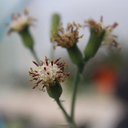 Sénécio Articulatus ou Plante Chandelle - Les fleurs