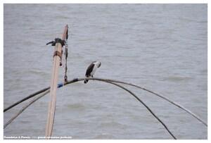 Grand cormoran juvénile