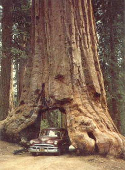 Séquoia dans le Yosemite National Park