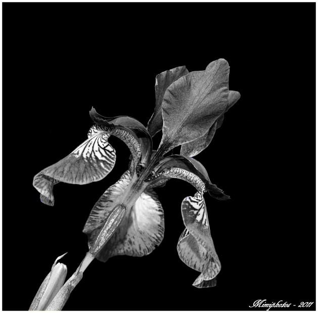 iris-n-b--copie-1.jpg