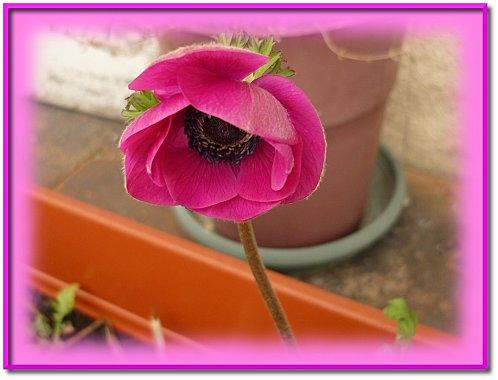 anemone 2010 1