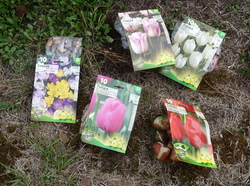 Plantation de bulbes de tulipes