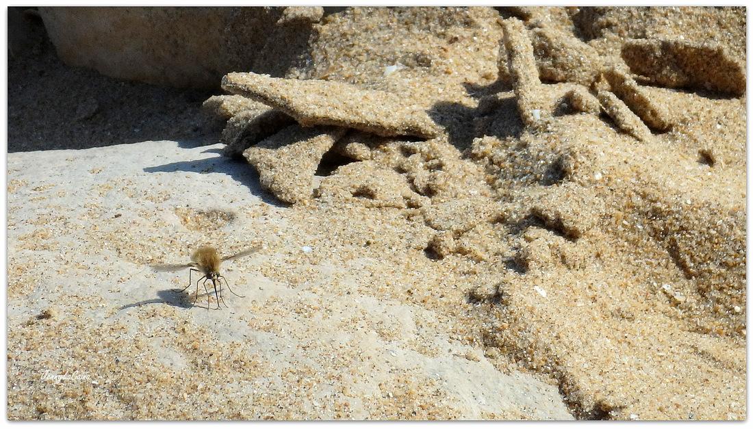Sur la plage, le Bombyle.