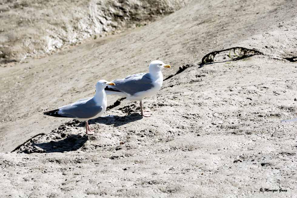 Couple de goélands argentés