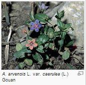 Mouron des champs - Anagallis arvensis L. var. caerulea (L.) Gouan