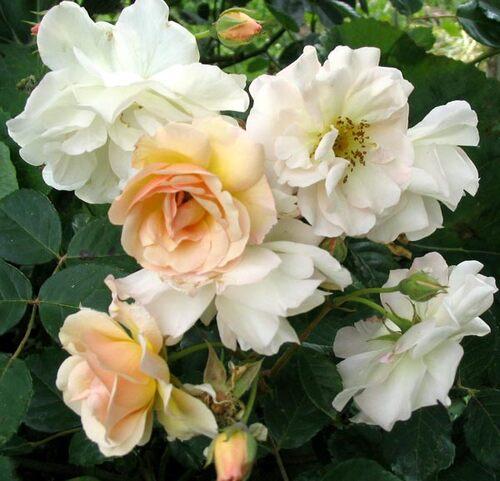 Roses En Littérature