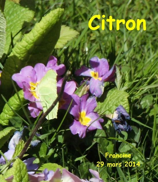 Citron (3) jardin 29-03-14  Gonepteryx rhamni