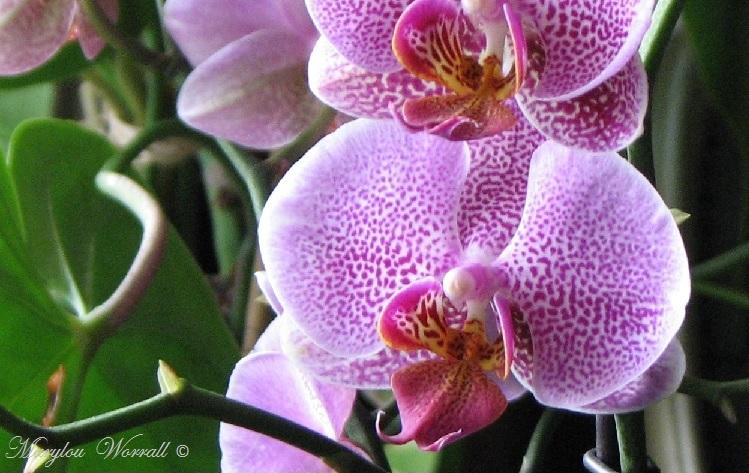 Coup d'œil sur mes orchidées