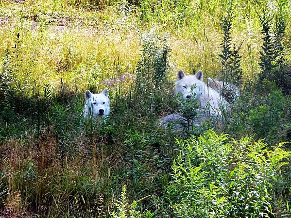 Parc-Omega-loups-arctiques.jpg