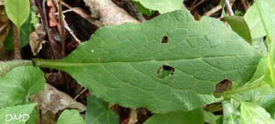 Symphytum tuberosum - Consoude tubéreuse