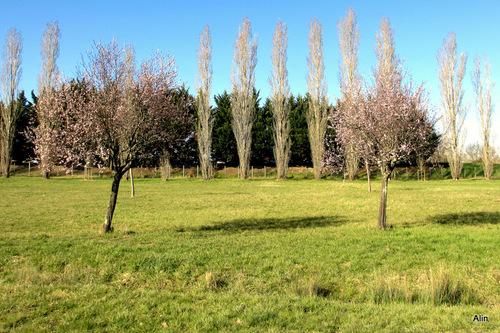 C'est le printemps : arbres en fleur ... (1)