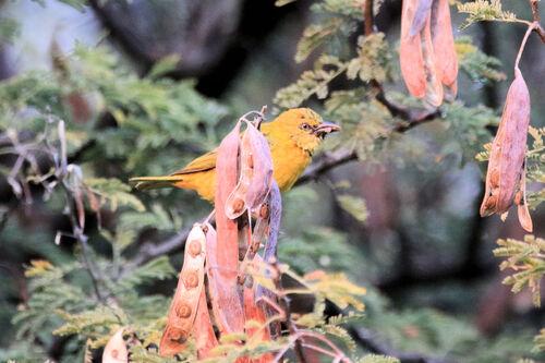 Tisserin intermédiaire (Lesser Masked Weaver)