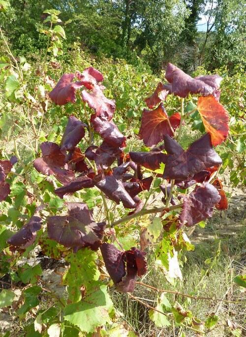 Vigne en octobre
