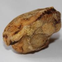 Coque fossilisée n°3