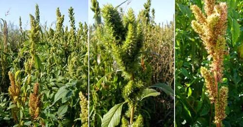 l'Amarante pourrit la vie des OGM de Monsanto