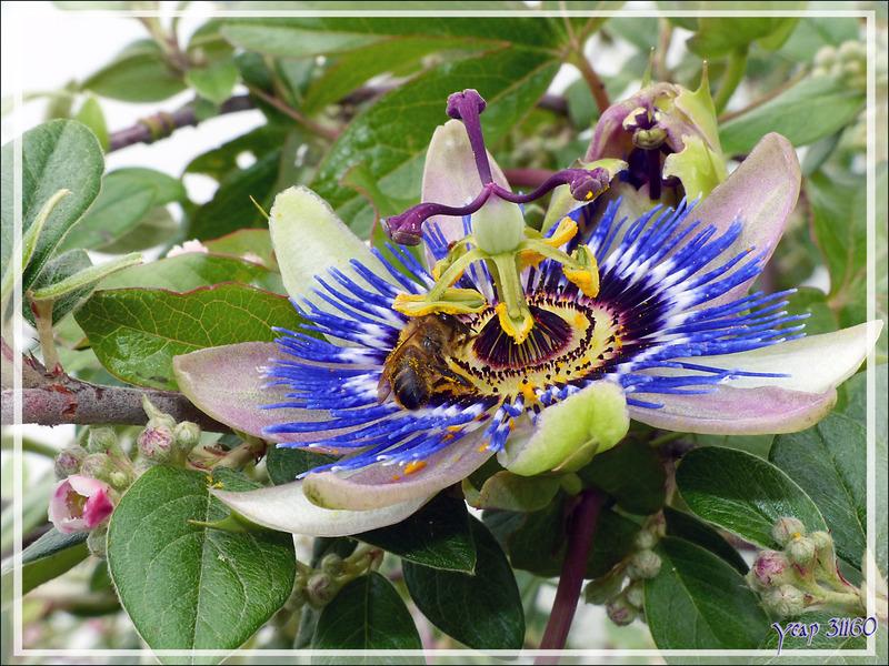 Abeille prise de passion pour une fleur - La Couarde-sur-Mer - Île de Ré - 17