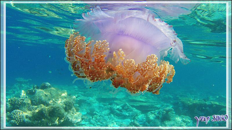 Belle rencontre peut-être un peu dangereuse : une méduse - Snorkeling à Thudufushi - Atoll d'Ari - Maldives