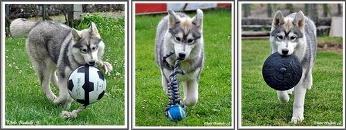 Les jouets de vos Huskys (28 mai 2013)
