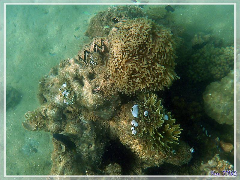 Huître zig-zag ou crête de coq, Zig-zag clam, Cock's comb oyster (Lopha cristagalli) - Nosy Sakatia - Madagascar