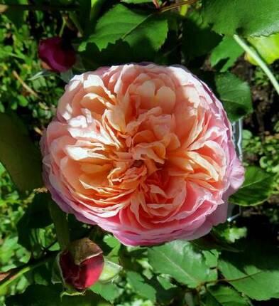 rosier prix P. J. redouté