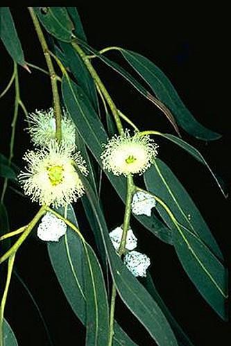 Eucalyptus globulus2