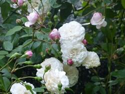 l'alphabet parmi les roses