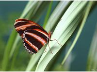 Dryadula phaetusa 1